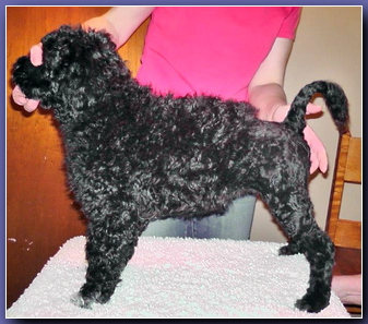 Alberta Breeder of Portuguese Water Dogs   Latest News at Baywood